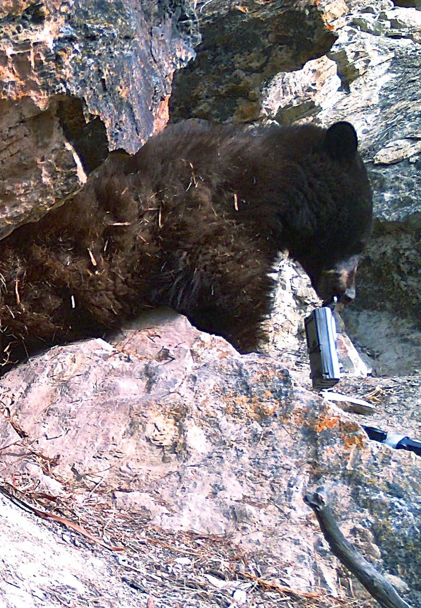 A bear near Carbondale that local wildlife photographer Ken Krehbiel has been monitoring with remote motion sensor cameras got ahold of one of the two devices outside its den. What happened was captured by the second camera. Bear selfies!
