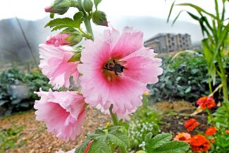 Few people appreciate the abundance of rain showers in this area more than the local gardeners. Flowers and produce are abundant at the Community Gardens located near the Glenwood Springs Community Center.