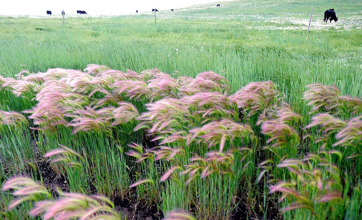 Prairie grass blows in the wind as cattle feed in the open range of the Pawnee Grasslands.