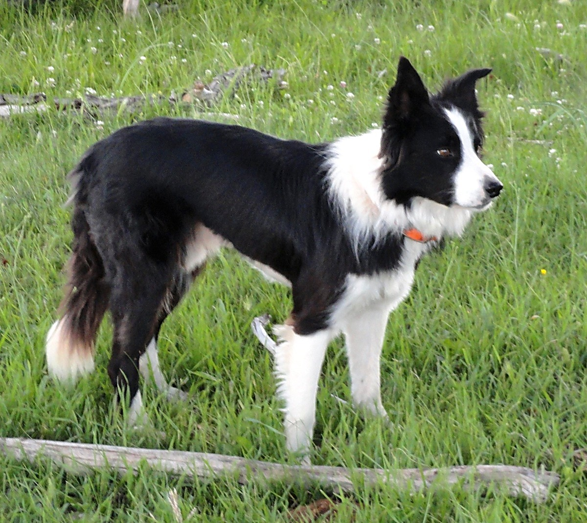 Karelian bear dog border collie mix - photo#11