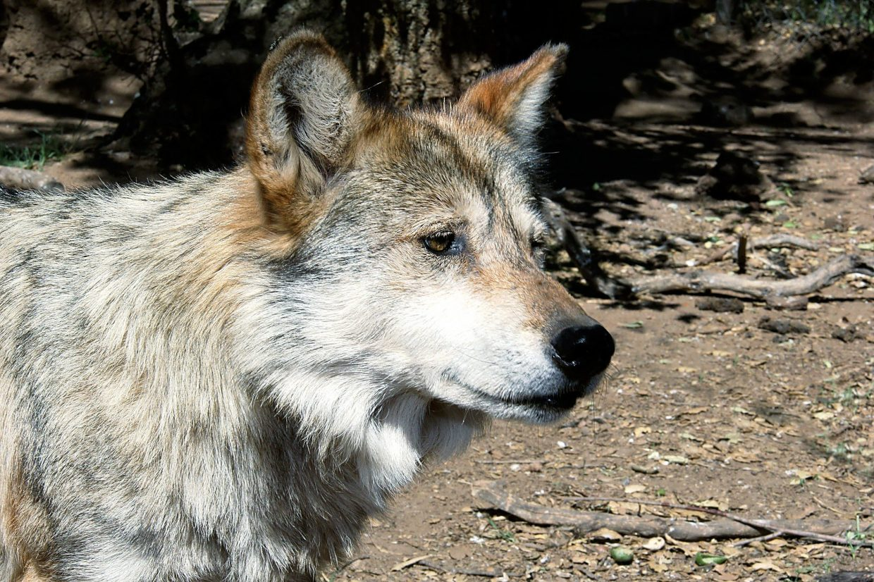 Reintroduction of the mexican wolf