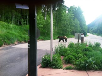 A bear ambles by the Forest Service welcome gate on Maroon Creek Road. Bear incidents have spurred the agency to create a bear management plan that focuses on education, preparedness and response.
