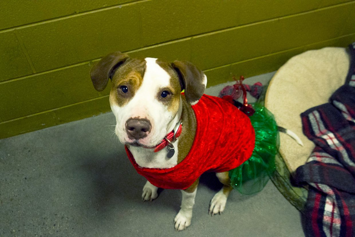 Sally, a four year old Staffordshire terrier, was all dressed up for the open house at C.A.R.E. on Friday evening.
