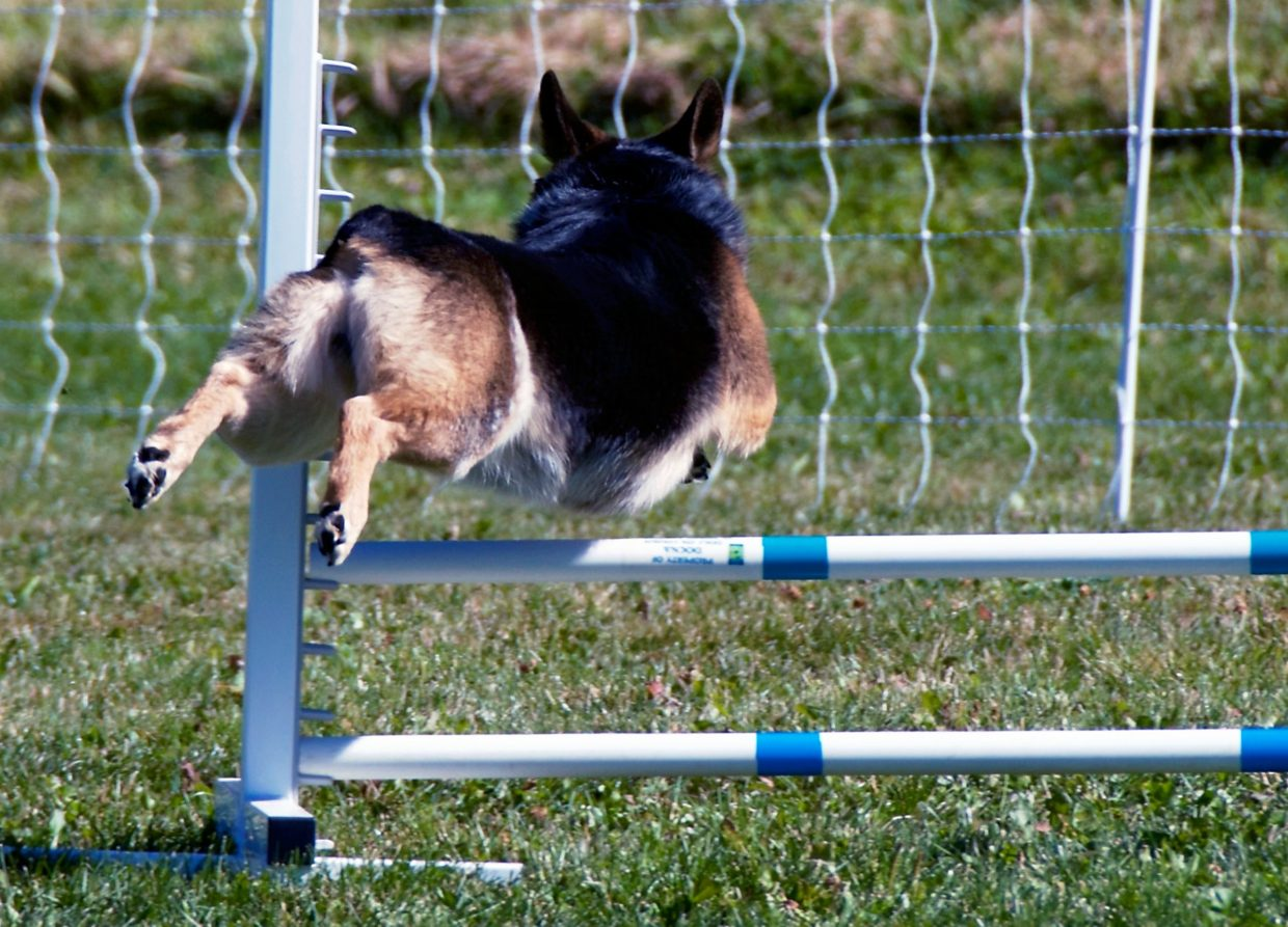 A small dog leaps over a hurdle during the  DOCNA national championship competition on Friday at North Face Park in Carbondale.