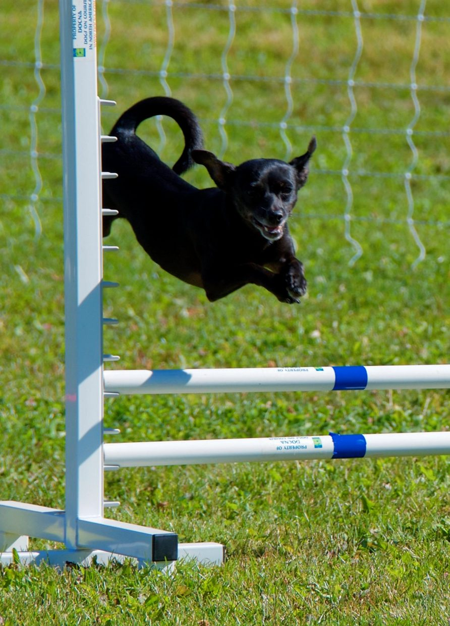 Small dog Cricket performs a big jump over a hurdle during the  DOCNA national championship competition on Friday at North Face Park in Carbondale.