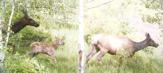 A concealed camera on lower slopes of Burnt Mountain produced this image of an elk calve traveling with two cows in the spring of 2014. Wildlife experts say a spring trail closure is vital to give the animals the solitude they need at a critical time.
