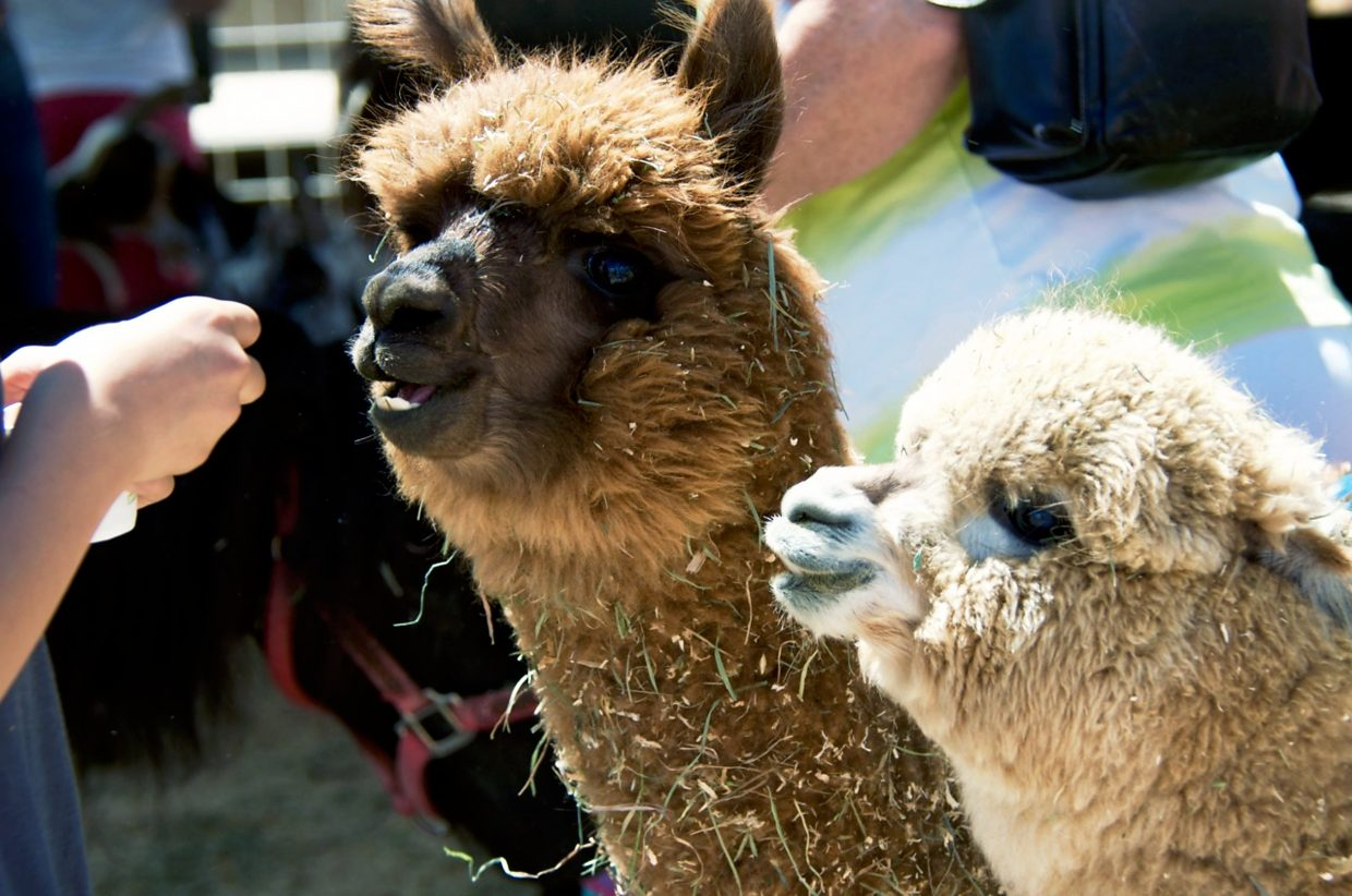 Two alpacas are eager for carrots at the petting zoo during the Garfield County Fair.