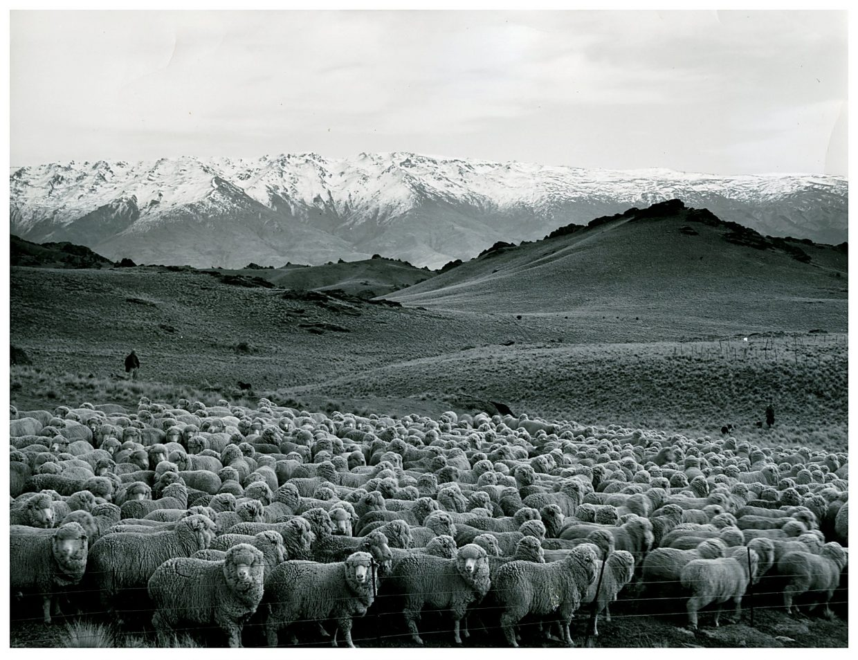 Merino sheep, which live in the mountains of New Zealand, have wool that helps them regulate their temperature in variable weather.