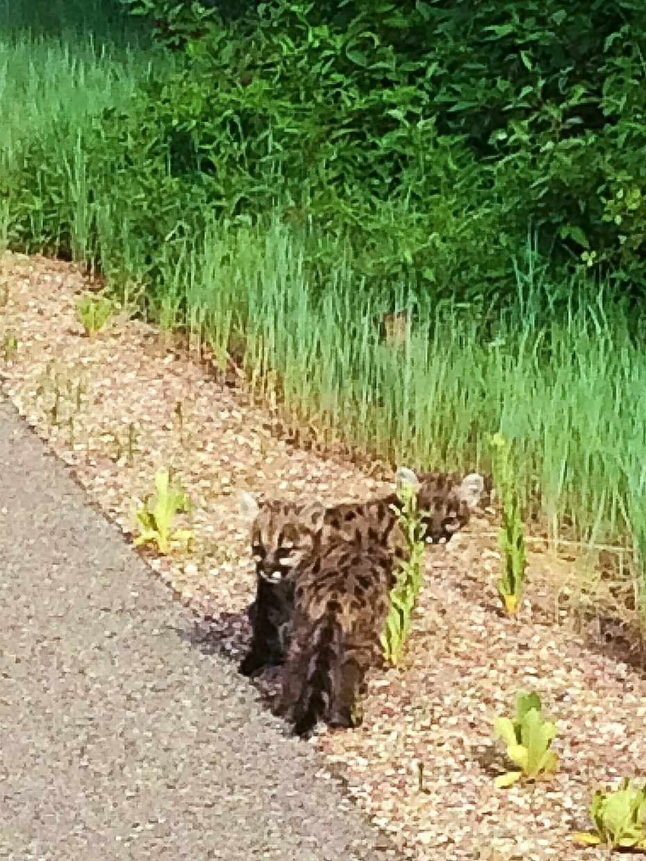 Two mountain lion kittens were spotted along the Rio Grande Trail Tuesday evening. Officials have now closed a portion of the trail to protect the kittens and humans because the mother is likely nearby.