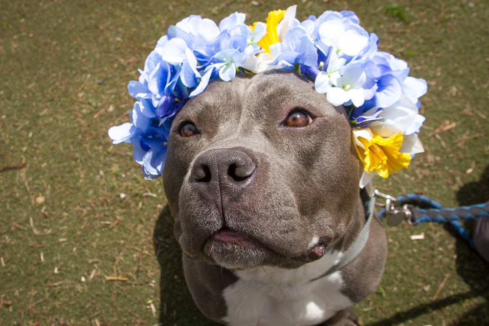 a series created by photographer Sophie Gamand. The pit bulls are dressed with flower crowns to infuse a softer energy into their imagery. Pictured is Penny
