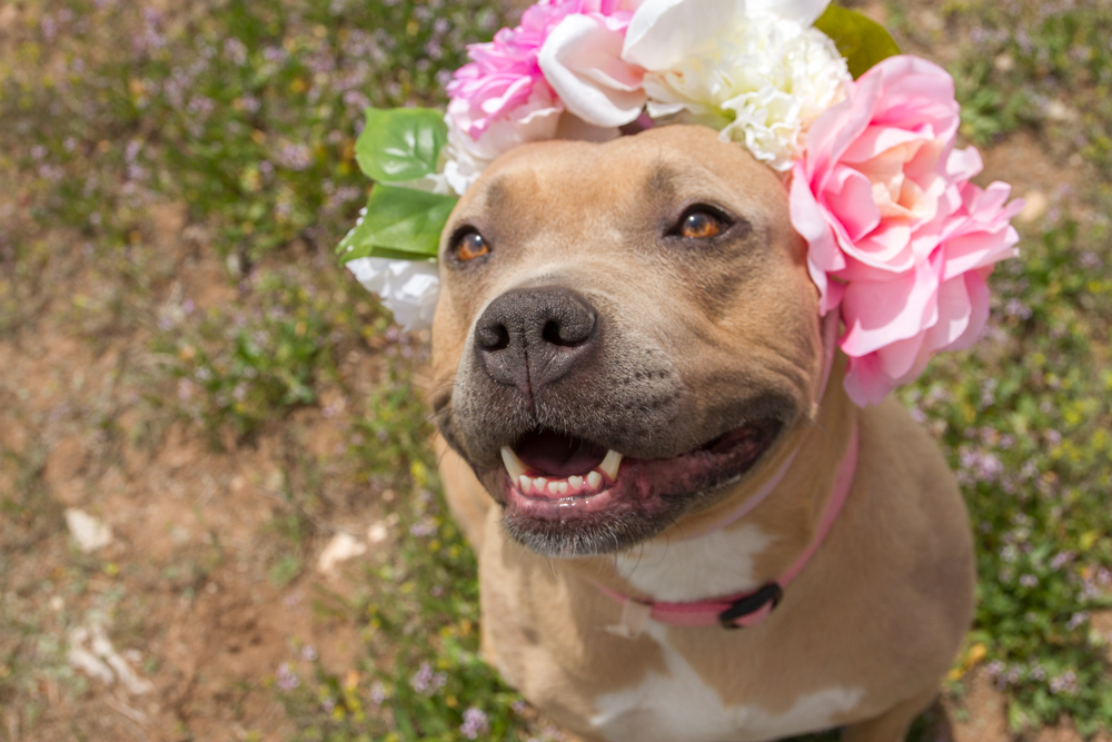 a three year old pit bull who arrived at CARE on March 18th and is still available for adoption.