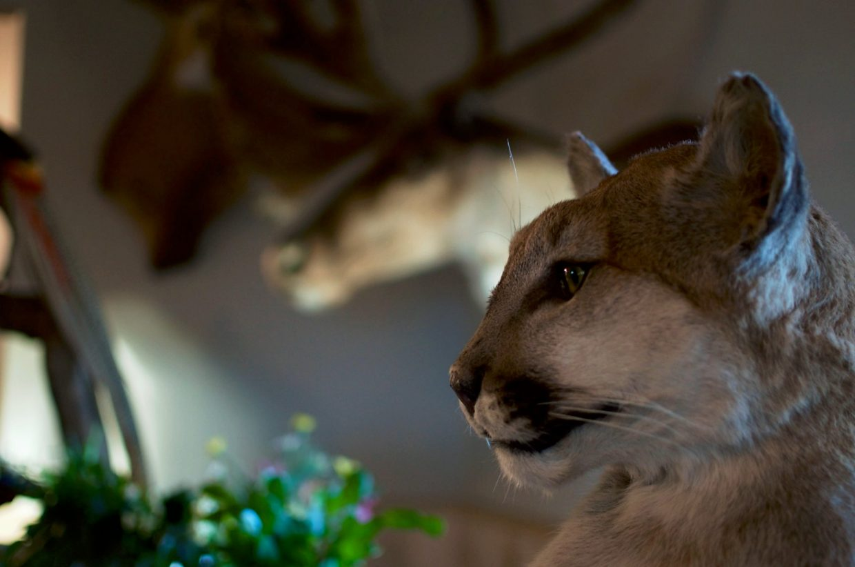 Marianne Alameno-Stanek's favorite animals to preserve are big cats like mountain lions. She does full-body arrangements as well as busts, like the one pictured here.