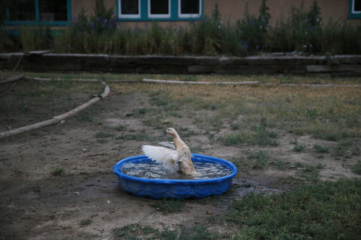 ADVANCE FOR USE TUESDAY, JULY 5, 2016 AND THEREAFTER-In this July 1, 2016 photo, a duck hen, part of a flock raised for eggs, bathes in a children's pool before dawn in Manzanola, Colo., in Otero County. There are few divides in the United States greater than that between rural and urban places. Town and country represent not just the poles of the nation's two political parties, but different economic realities. (AP Photo/Brennan Linsley)