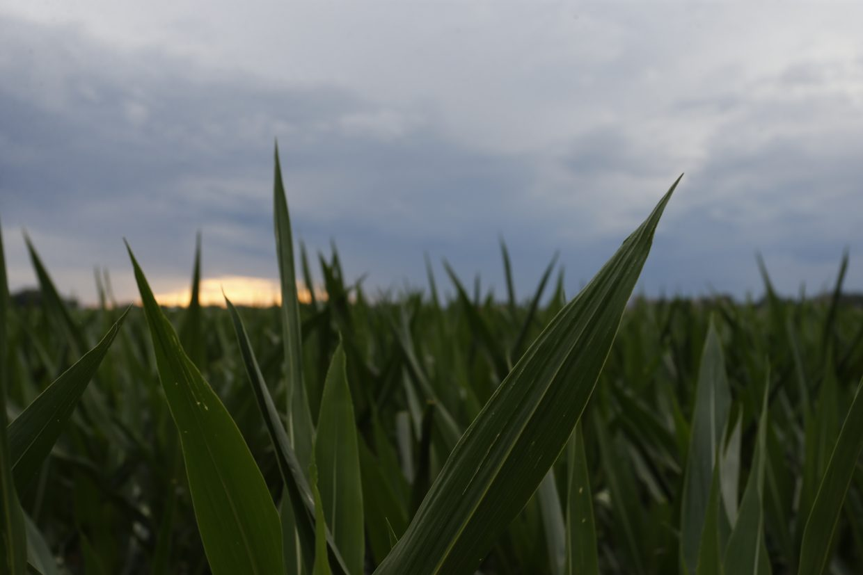 ADVANCE FOR USE TUESDAY, JULY 5, 2016 AND THEREAFTER-In this June 30, 2016 photo, the sun sets over a field of ripening corn in Manzanola, Colo., in Otero County. Rural areas have been especially slow to recover from the Great Recession that began in 2008: The most recent study by the U.S. Department of Agriculture found that, as of 2014, rural areas still had not regained all the jobs lost in the recession while metropolitan areas had. (AP Photo/Brennan Linsley)