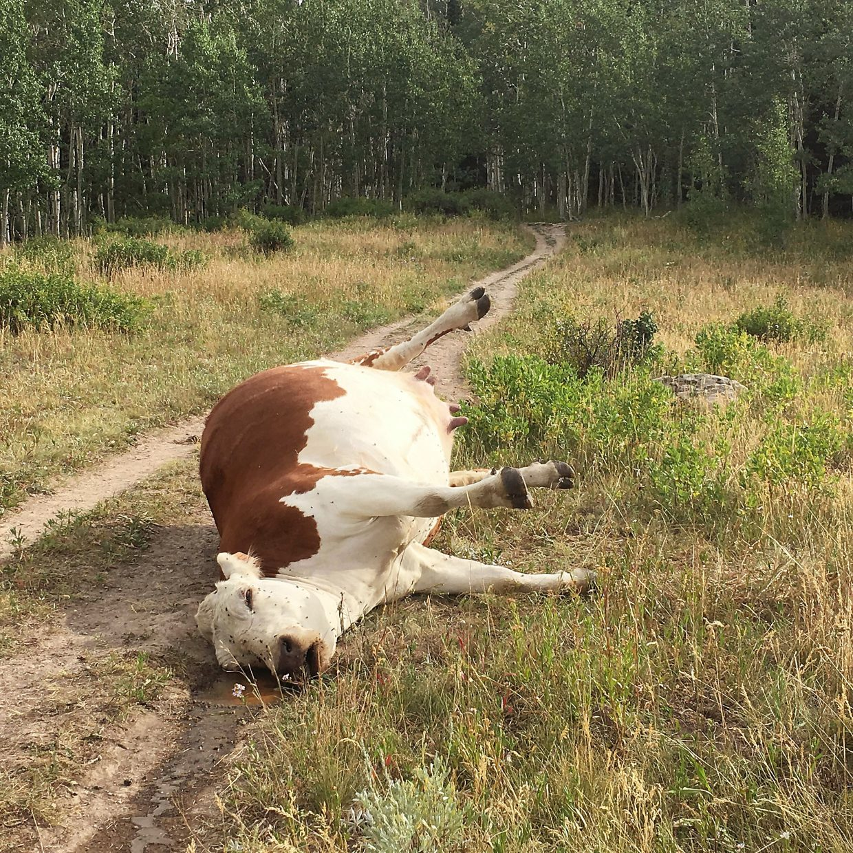 Forest Service looks to move dead cow on Sopris trail | PostIndependent.com
