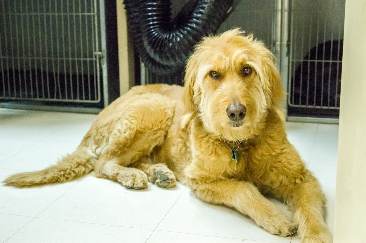 Regular dog customer Lily Mae Nadon relaxing in the drying room before getting her bath and groom.