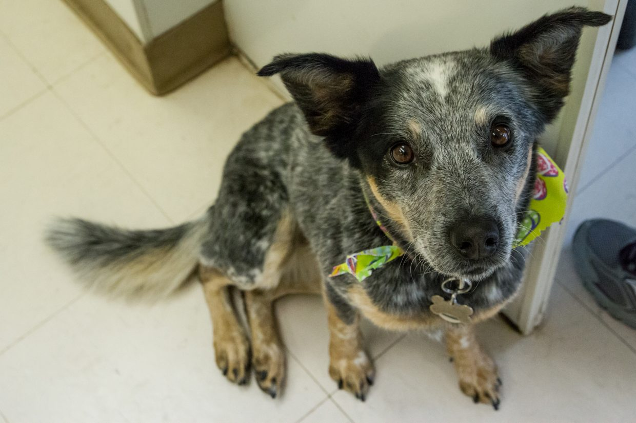 Blue Heeler mix Miley waiting patiently after her groom wearing her new bandana.