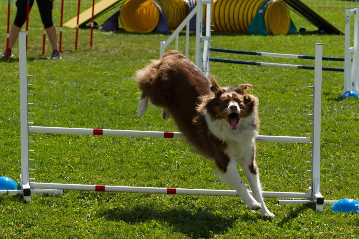A dog clears the hurdle during the DOCNA National Championship in Carbondale.