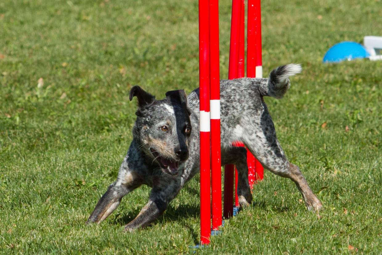 A seasoned agility dog weaves through the poles.