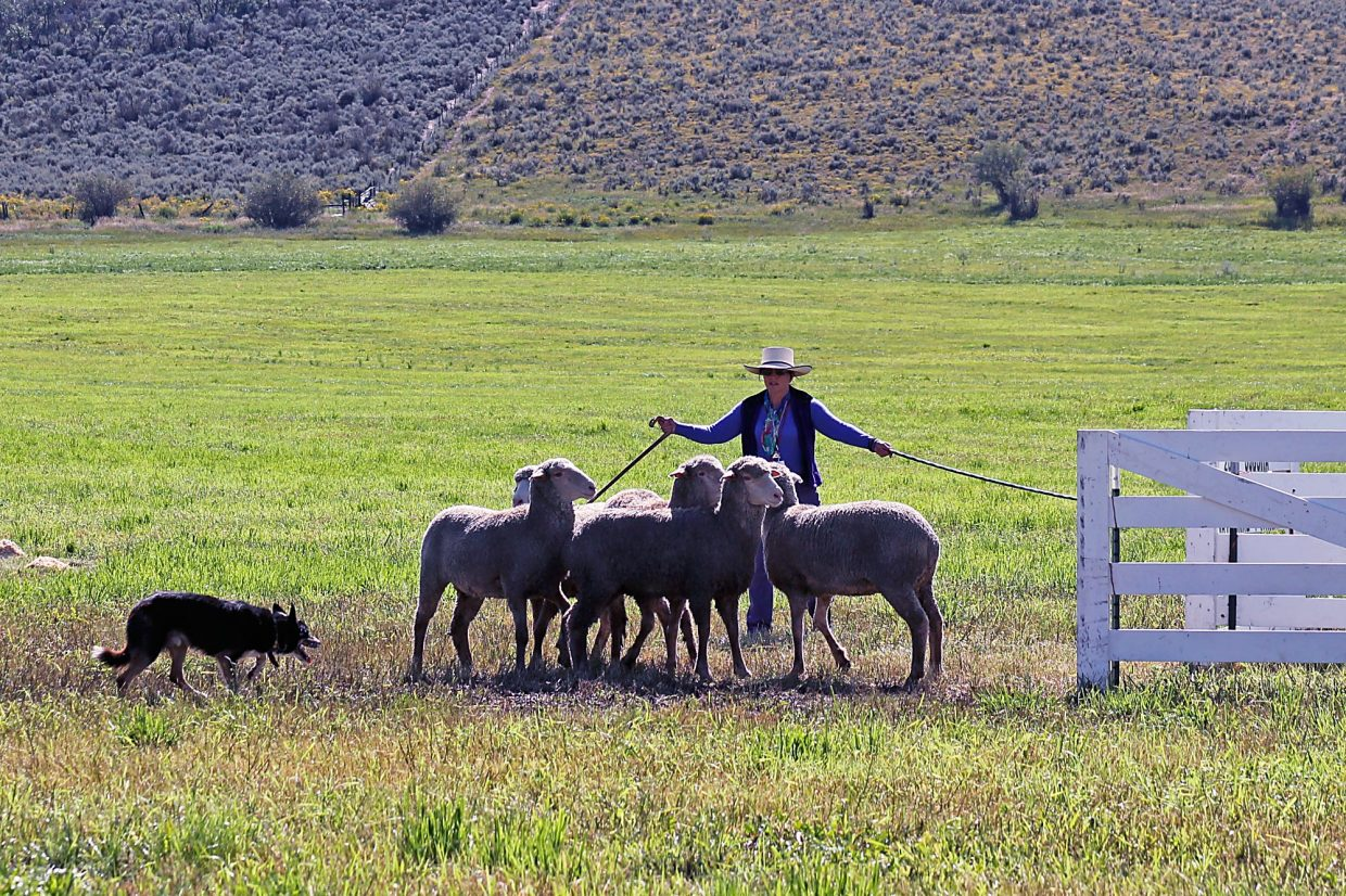A handler and her dog attempt to pen a set of sheep during the first rounds of the 2014 Sheepdog Finals.
