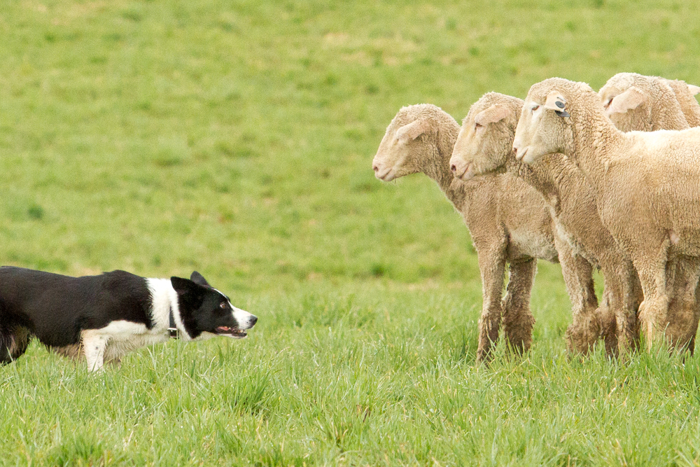From the sheepdog benefits trial at Strang Ranch in Missouri Heights last spring.