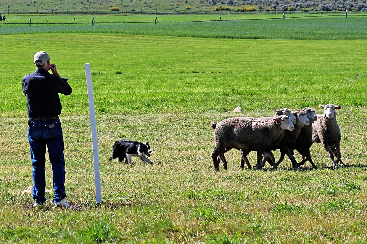 A handler and his dog attempt to shed two sheep from the set during the first rounds of the 2014 Sheepdog Finals near Carbondale.