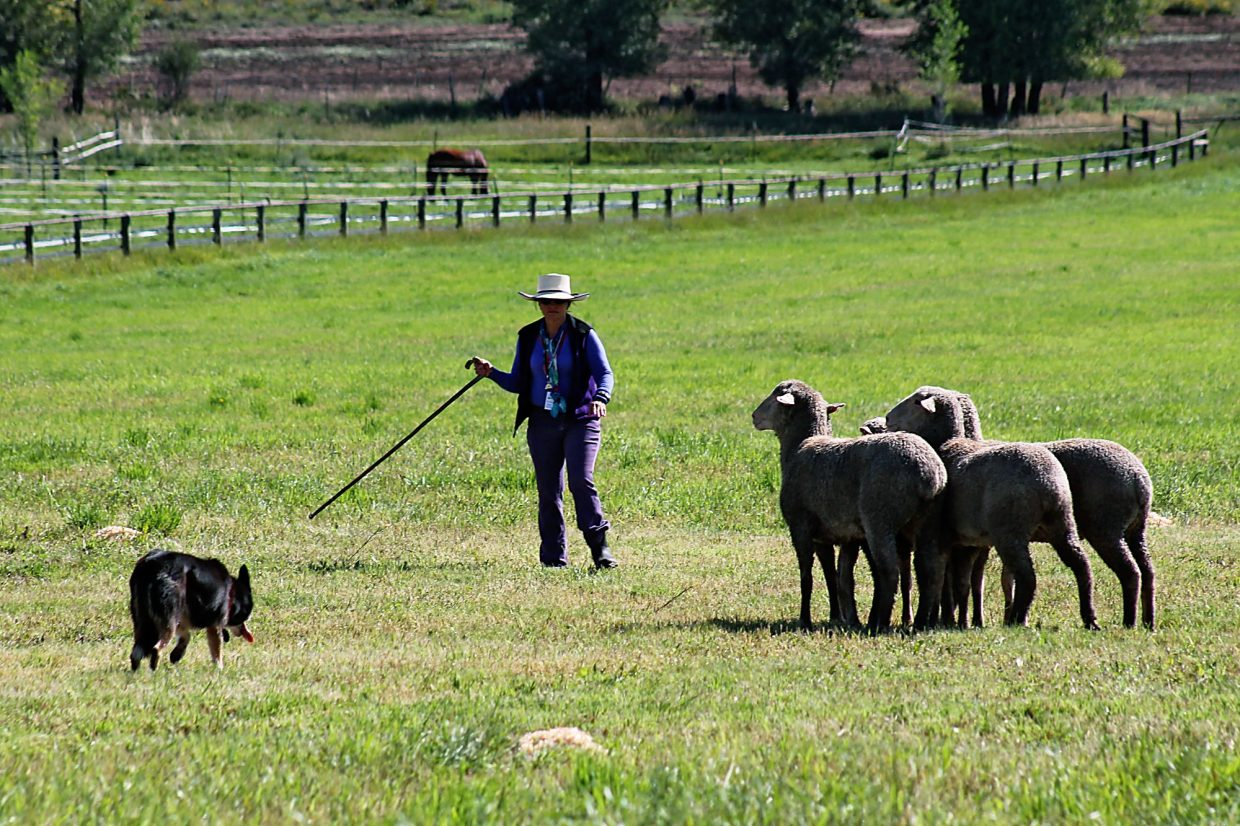 A handler and her dog attempt to shed two sheep from the set during the first rounds of the 2014 Sheepdog Finals near Carbondale.