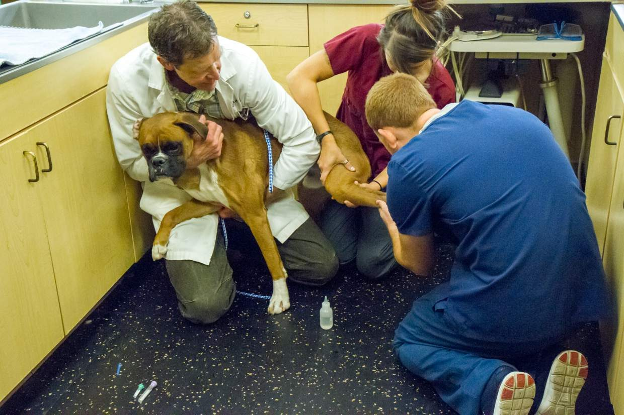 Veterinarian Bob Thorsen and vet technicians Matthew Kells and Erin Braley draw blood from a patient before surgery.