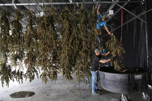 FILE - In this Oct. 4, 2016, file photo, farmworkers inside a drying barn take down newly-harvested marijuana plants after a drying period, at Los Suenos Farms, America's largest legal open air marijuana farm, in Avondale, southern Colo. Weed is winning in the polls, with solid majorities nationwide saying marijuana should be legal. But the government still has many means to slow or stop the marijuana train. And President-elect Donald Trump's nomination of Alabama Sen. Jeff Sessions to be the next attorney general has raised fears that the new administration could crack down on weed-tolerant states. (AP Photo/Brennan Linsley, File)