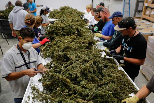 FILE - In this Oct. 4, 2016, file photo, farmworkers remove stems and leaves from newly harvested marijuana plants, at Los Suenos Farms in Avondale, Colo. The government still has many means to slow or stop the marijuana train and President-elect Donald Trump's nomination of Alabama Sen. Jeff Sessions to be the next attorney general has raised fears that the new administration could crack down on weed-tolerant states. (AP Photo/Brennan Linsley, File)