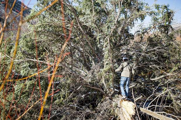 John Armstrong, Pitkin County Open Space and Trails senior ranger, on the approximately 80-foot-tall fallen spruce tree across the Roaring Fork River in the North Star Nature Preserve on Friday.
