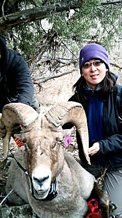 Julie Mao, Colorado Parks and Wildlife, with a large ram that will be monitored in Glenwood Canyon.