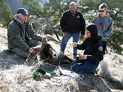 Rocky Mountain Bighorn Sheep Society volunteers help Colorado Parks and Wildlife capture bighorns in Glenwood Canyon for radio-tracking.