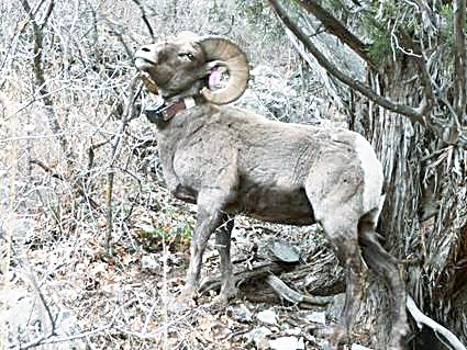 Data collected from the movements of a mature ram can help agencies manage bighorns and their habitat.