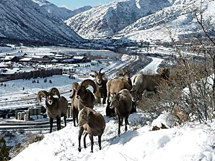 A herd of rams and ewes on a steep slope just outside Glenwood Springs.