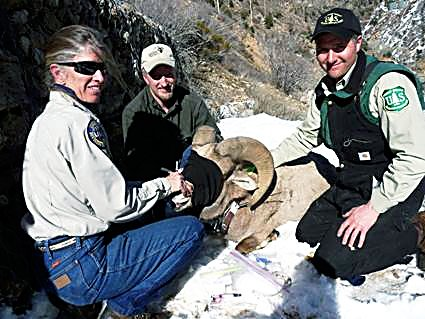 Volunteer Breck Johnson helps the Forest Service and Colorado Parks and Wildlife collect body condition information.