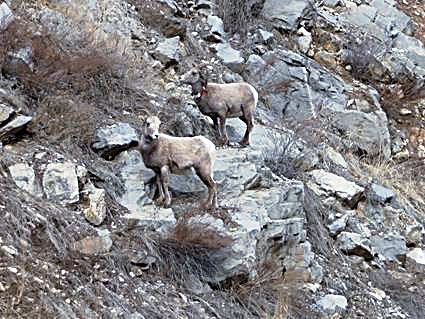Bighorn ewes (females) have smaller horns than rams (males).