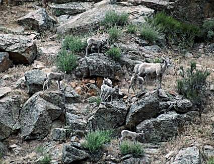 Newborn lambs quickly become agile in order to accompany ewes (mothers) in such rugged terrain.