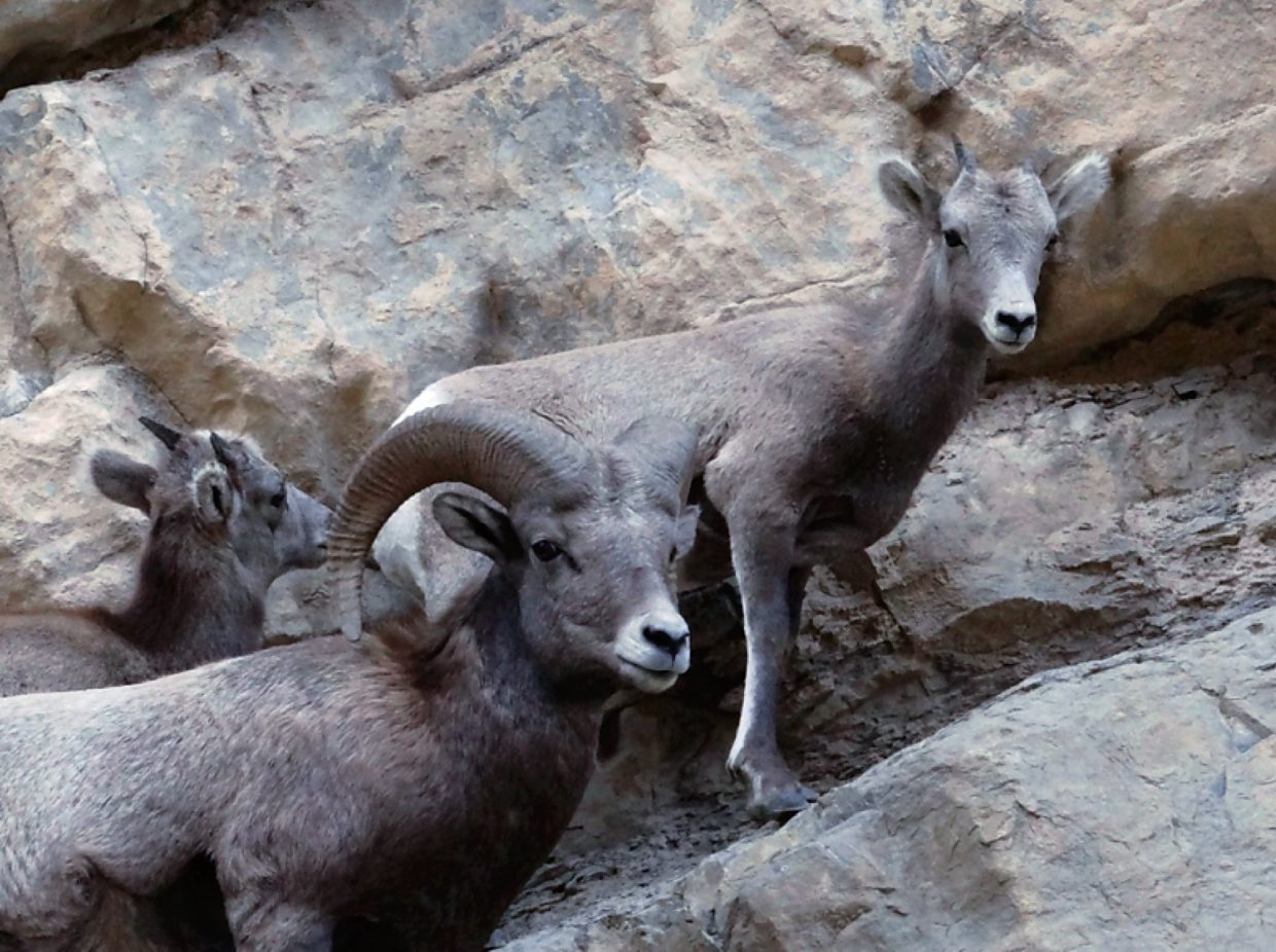 A young ram and two lambs from the Glenwood Canyon herd.