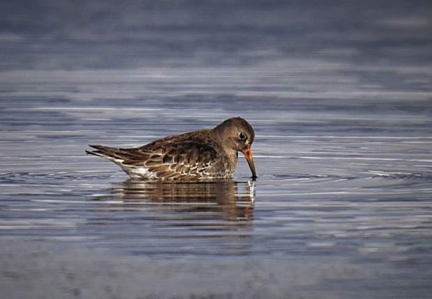 Purple sandpipers are a species of arctic shorebird typically breeding in northern Canada before migrating to the American Northeast for the winter. The unusual spotting of one on Lake Dillon — the state's first on record — has now brought hundreds of local birders to Summit in the last week.