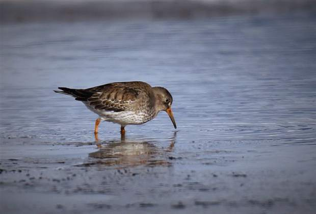 The recent appearance of a purple sandpiper at Dillon Reservoir sent state ornithologists into a frenzy to both see and confirm the bird's identity. The sighting was the first-ever documented in Colorado.