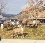 A herd of bighorn sheep munches on grass next to the Land Rover dealership on U.S. 6 in north Glenwood Springs over the weekend.