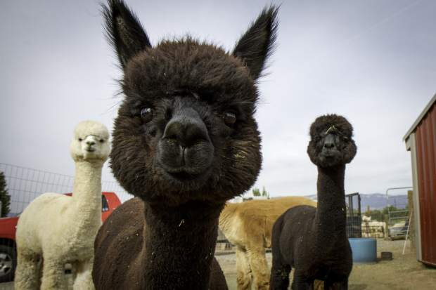 An alpaca checked out the camera with reinforcements close behind on the Wesson Alpaca farm on Silt Mesa in September.
