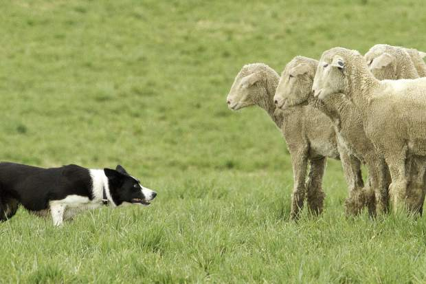 A border collie held his ground against a group of sheep during the Sheepdog Benefit trials at the Strang Ranch in Missouir Heights in April. For a slideshow of the top images from the year 2016 go to postindependent.com.