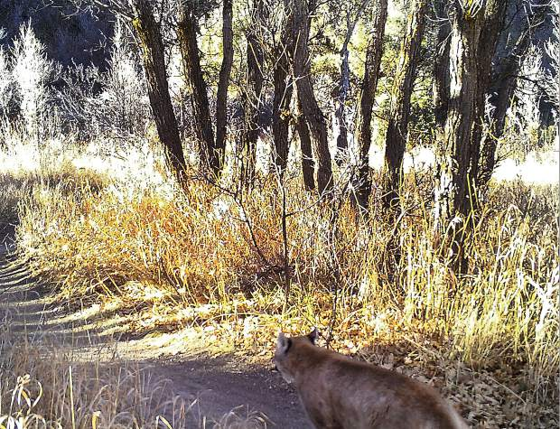 The Cozyline Trail is the cat's meow for a mountain lion during the mild weather of November 2016.
