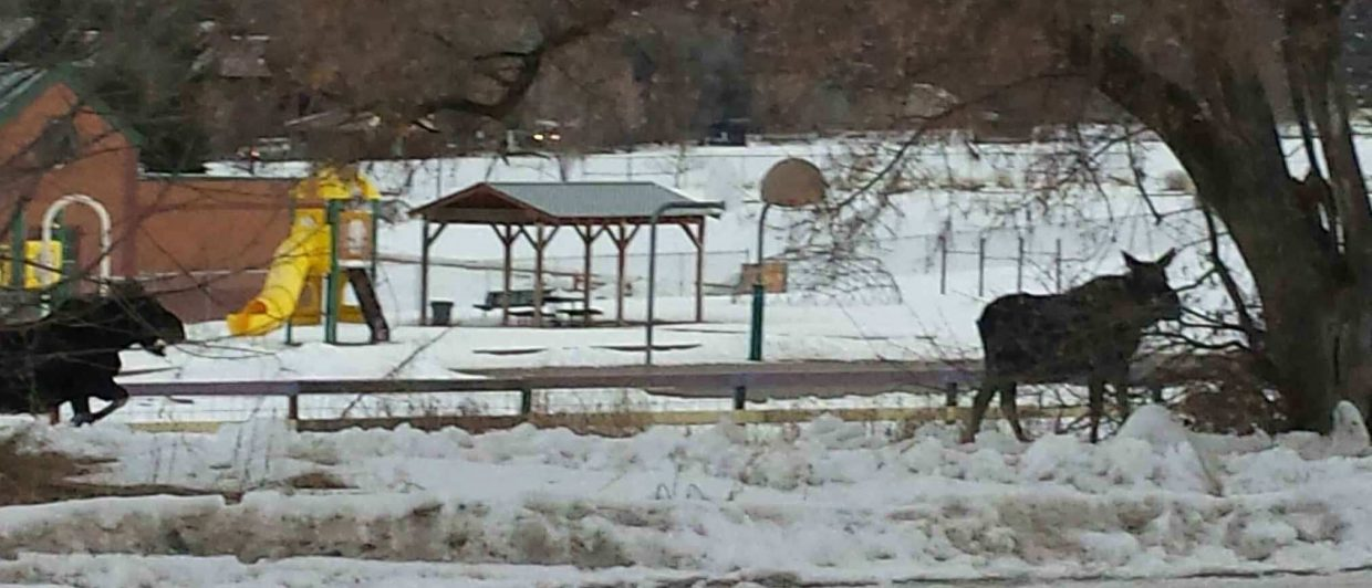 Two moose drop by Sopris Elementary School on Thursday morning.