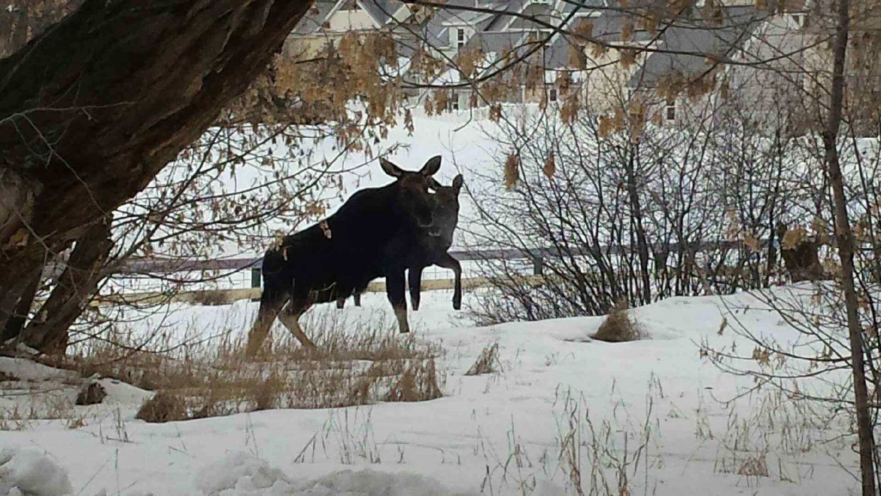 Two moose (one is behind the other; nothing funny is going on here) visited Glenwood Springs this morning, then headed back up the Four Mile area.