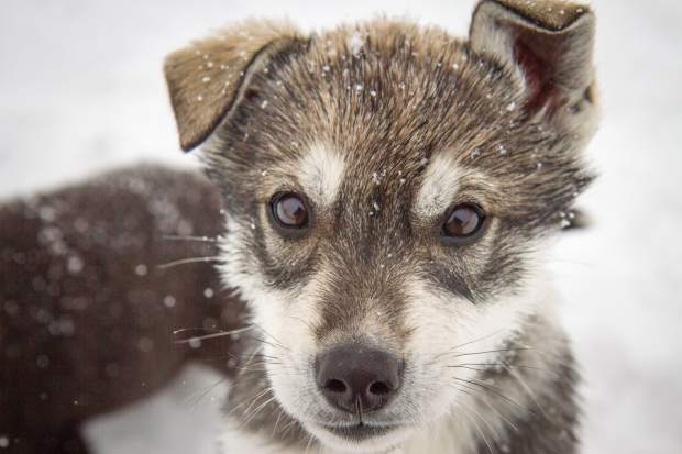 This week's Selfies features the sled dog teams of Krabloonik in Snowmass. For more photos go to page A8.