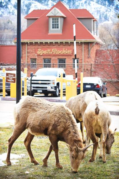 The grazing was good Monday near the Spa of the Rockies in Glenwood Springs.