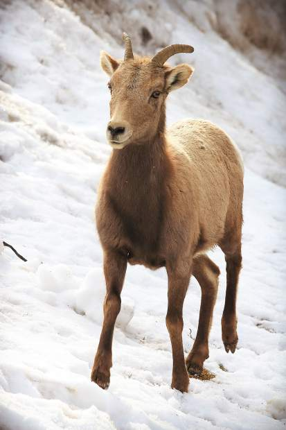 This is the winter of bighorn sheep in Glenwood Springs, which is being graced with another in-town visit from the Glenwood Canyon herd.